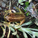 Alpine tree frog / Verraux's alpine tree frog