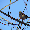 White throated Sparrow - white striped form