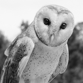 Inquisitive by Philip McKibbin - Black & White Animals ( prey, claws, feathers, hunter, predator, flight, talons, barn, fly, wings, beak, owl, hunt )