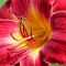 Spotted Bug on Day Lily.jpg