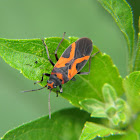 False Milkweed Bug