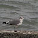 Laughing Gull (basic plumage)
