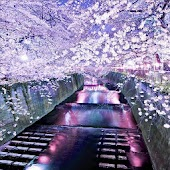 Live Wallpaper Sakura