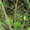 Collared Scops-Owl (Couple)