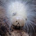 White faced morph