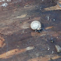 Strawberry Snail