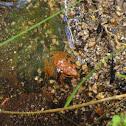 Iberian frog