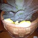 Yellow house plant mushroom