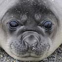 Southern Elephant Seal (female)