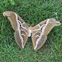 Ailanthus Silk Moth