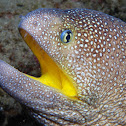 Yellow-mouth moray eel