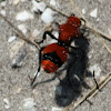 Cow Killer Ant or Velvet Ant