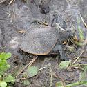 Florida Soft-Shelled Turtle