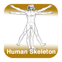 Anatomy - Human Skeleton