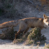 Red Fox; Zorro Rojo