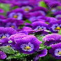 Purple Glitter Flowers LWP icon