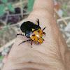 Cetoniid beetle