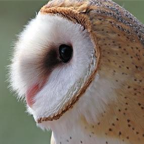 Barn Owl by Sandra Blair - Animals Birds ( bird, predator, bird of prey, owl, raptor,  )