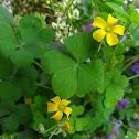 Common yellow woodsorrel