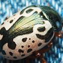 Calligraphy Beetle