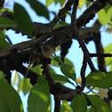 Bird hiding - Golden Bulbul