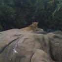 Lion (Female)