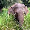 Sri Lankan elephant (wild)