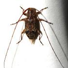 Tiny Long-Horn Beetle