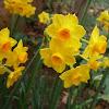 Narciso Gran Soleil D'Or