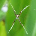 Multi-Coloured St Andrew's Cross Spider