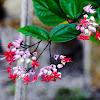 Pink bleeding heart vine