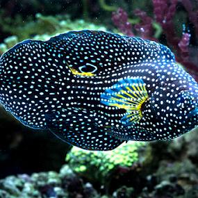 Canthigaster Papua by Marcelino Moningka - Animals Fish ( under water, fish )