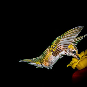 Margorie and ant by Gregg Pratt - Animals Birds ( hummingbird, hummer,  )