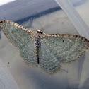 Australian Cranberry Moth