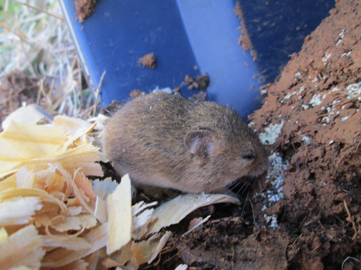 Eastern Harvest Mouse
