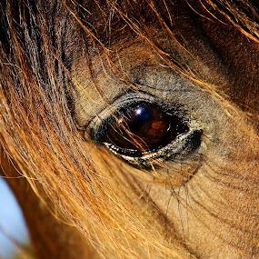 Eye of a horse -Imperial Pilot's eye  by Rita Birkeland - Animals Horses ( love, horses, horse, wisdom, soul, beauty, eye,  )