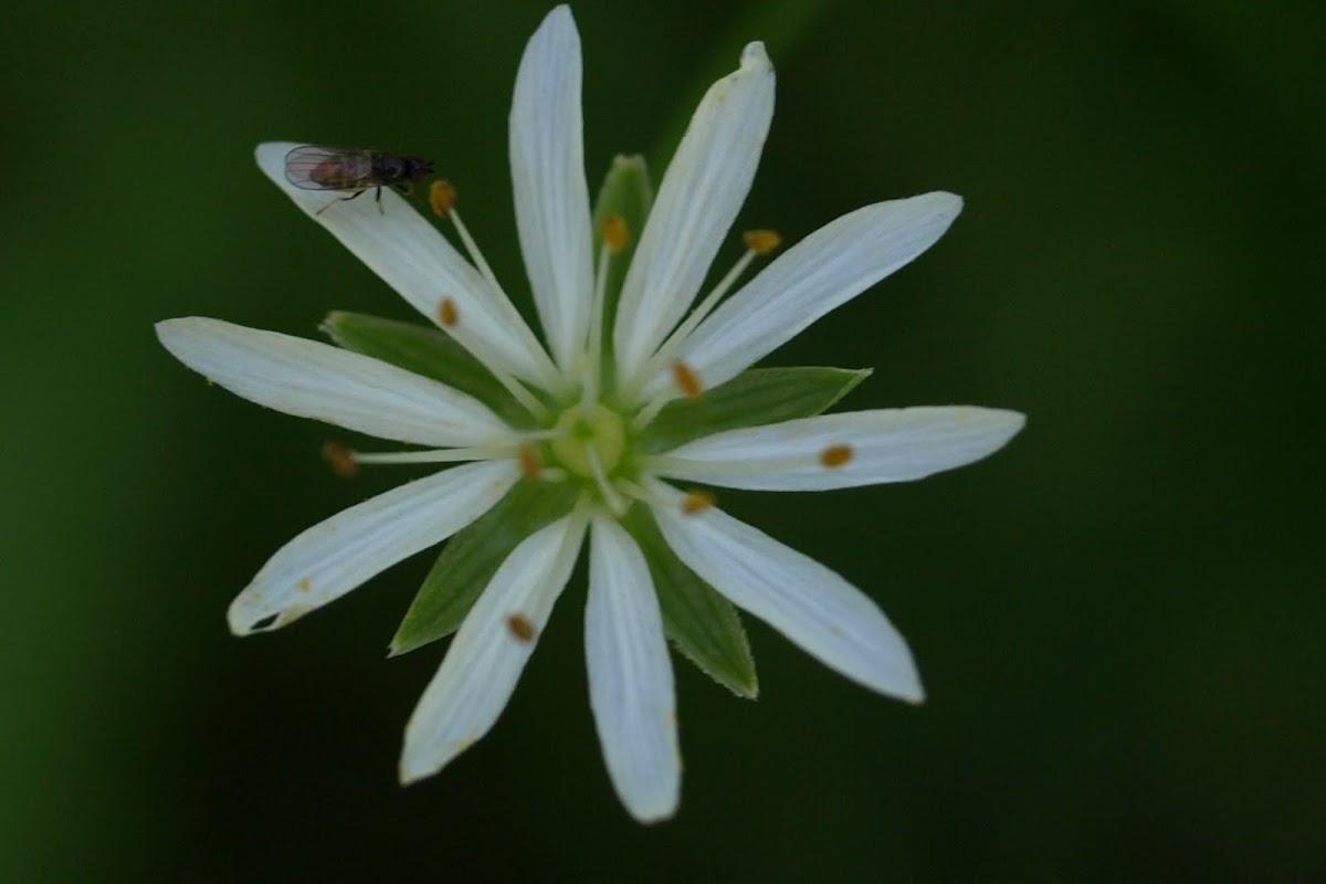 Lesser Stitchwort