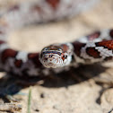 Eastern Milk Snake