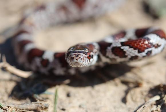 Eastern Milk Snake Juvenile