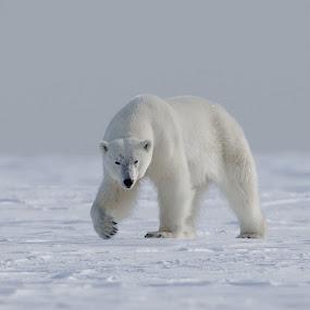 Polar bear by Jonas Petersen - Animals Other Mammals ( canon, wildlifephotography, wildlife, north, photo, photography, dyr, norway, amazing, isbjørn, nature, awesome, photographer, pattedyr, svalbard, arctic, norge, polar bear,  )