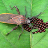Broad-headed Bugs (Alydidae)