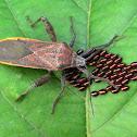 Broad-headed Bugs (Alydidae)