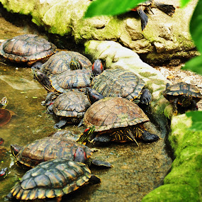 by Ariel Ladrido - Animals Reptiles ( others, turtle, amphibians, mamals )