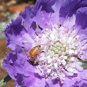 European Honey bee on Scabiosa caucasica