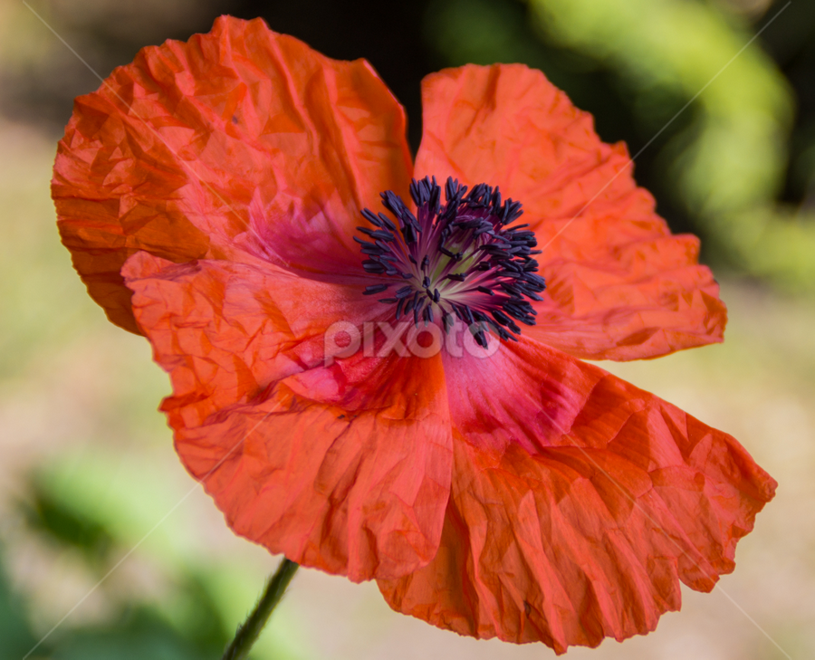 Just opened up a poppy ... by Sakari Partio - Flowers Single Flower