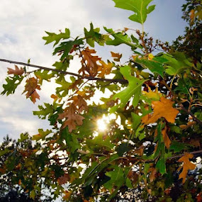 Changing Autumn by Brandon Ferreira - Nature Up Close Trees & Bushes ( autumn leaves, tree, change, fall, brown, shine, sun )