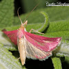 Southern Pink Moth