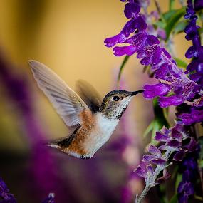 Allen's Hummingbird by Ken Wade - Animals Birds ( purple, salvia, allen's hummingbird, selasphorus sasin, bird in flight,  )