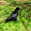 Cuervo común/Common Raven