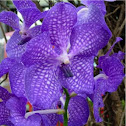 Orquídea. Orchid